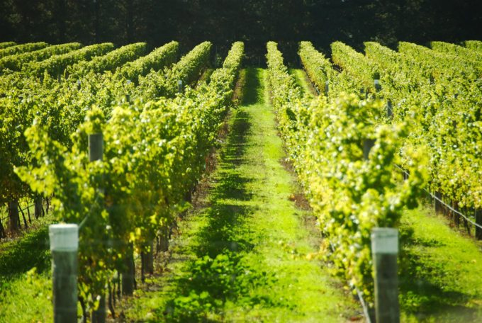 szőlőár