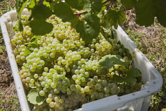 Kiváló évjáratot várnak a dél-balatoni borászok