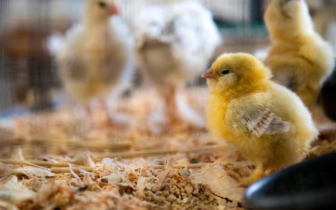 Aranyszalag minőség: Heppenheimer tojás