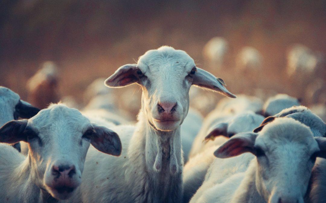 Bárány: a legjobb és a legdrágább