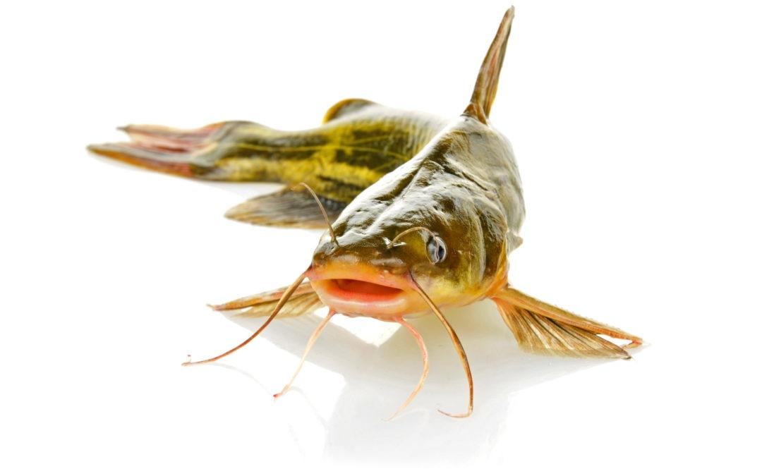 A hal neve harcsa