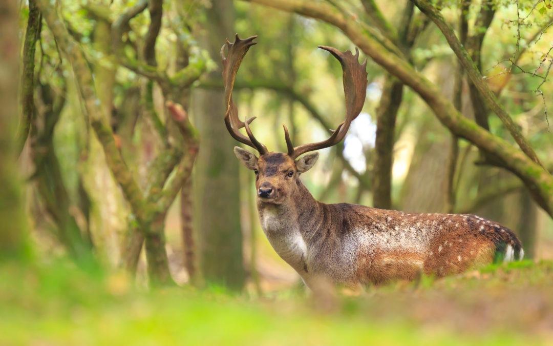 Magyarország vár – Dámvadak nyomában a tolnai erdőkben